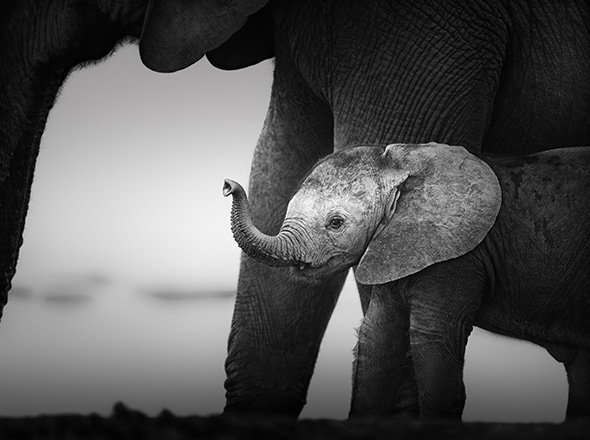Baby Elephant next to Cow (Artistic processing) Addo National Park - South Africa