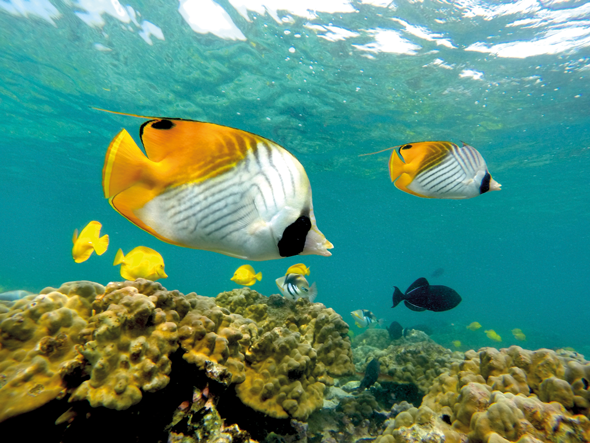 Vibrant kikakapu and yellow tang fish swim off the coast of Kona, Hawaii. Credit: Big Island Visitors Bureau (BIVB)