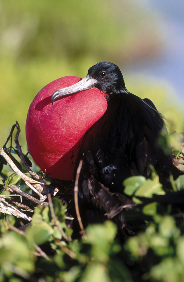 The Magnificent Male Frigate Bird In Courtship Display In