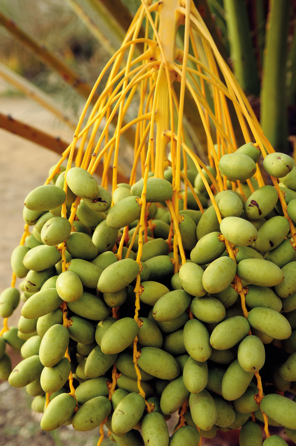 Dates hanging from a tree. Credit iStock