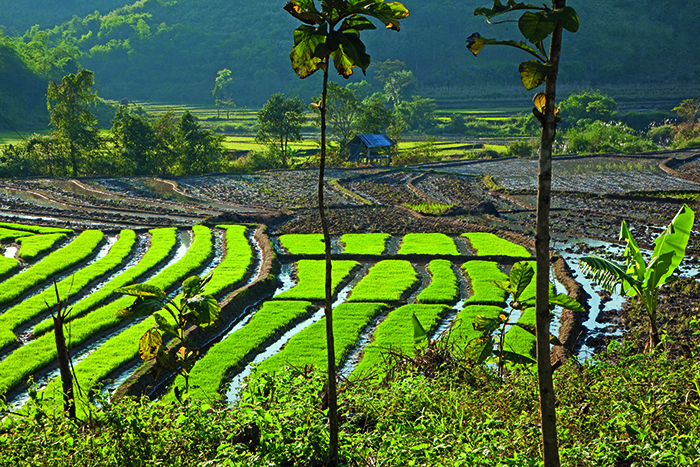 EFTXKN Rice paddy fields in the Tachileik District, Shan State, Myanmar / Burma