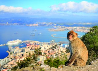 a Barbary macaque monkey surveys Gibraltar © iStock