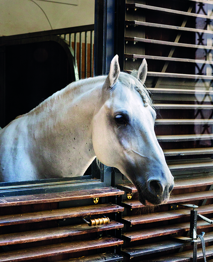 A Lipizzaner stallion at the Spanish Riding School in Vienna