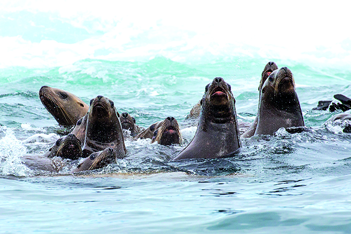 A colony of brown fur seals in Alaska