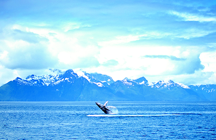 Humpback whale sightings are common in Alaska © iStock