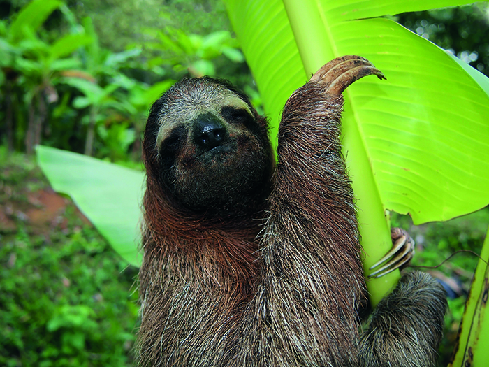 See sloths in the wild in Costa Rica © iStock
