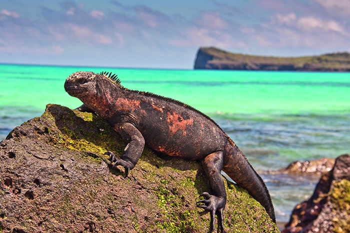 A marine iguana relaxes in the sun © Alamy