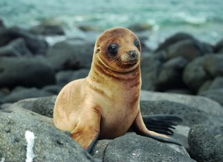 A Galápagos sea lion pup © Alamy
