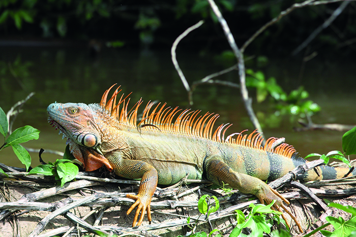 A green iguana native to Central and South America © iStock