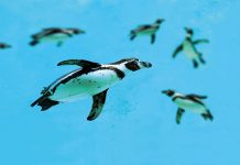 Humboldt penguins swimming in the ocean © iStock