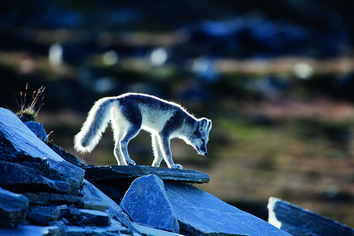 An Arctic fox on Spitsbergen, one of the islands of Svalbard, Norway © iStock