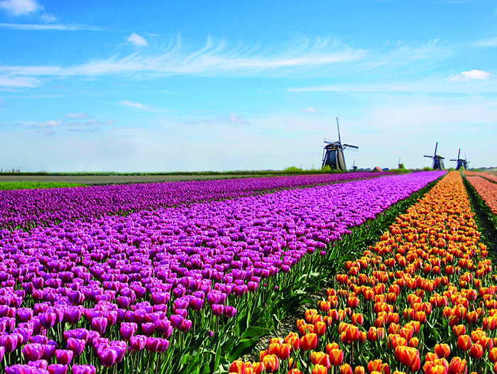 A tulip field in The Netherlands © iStock