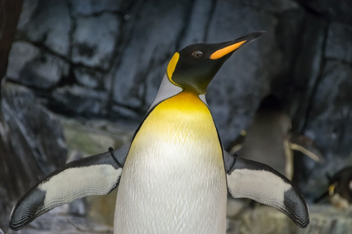 An emperor penguin in the Antarctic, which you can see on an adventure cruise