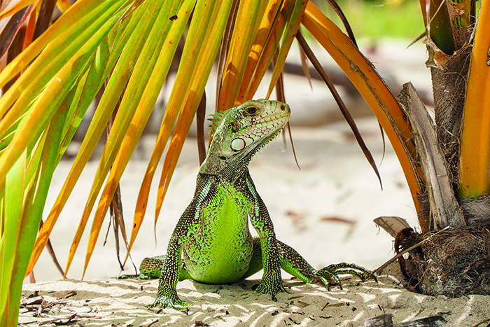 An iguana on the beach in Guadeloup © iStock