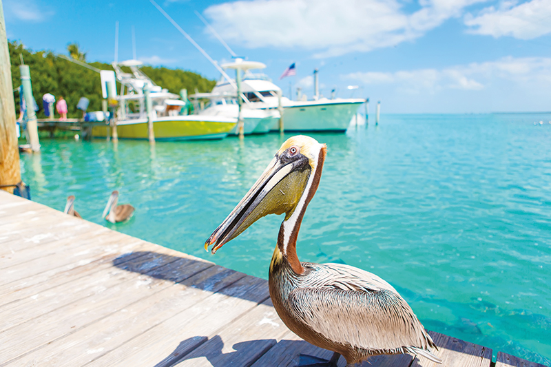 Big brown pelicans in the port of Islamorada in the Florida Keys, USA