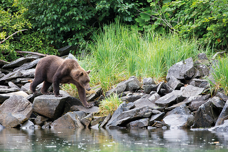Grizzly Bear walking along the shoreline in Geographic Harbour, Alaska