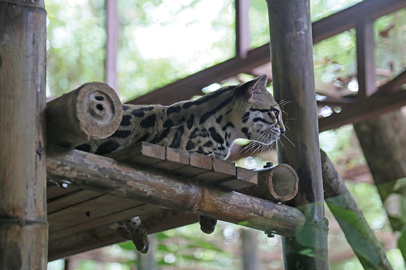 Margay in Costa Rica
