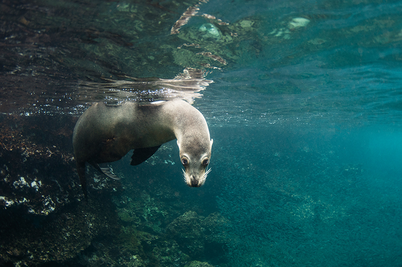 Galapagos Sea Lion in water off Rabida Island, Galapagos Islands, Ecuador