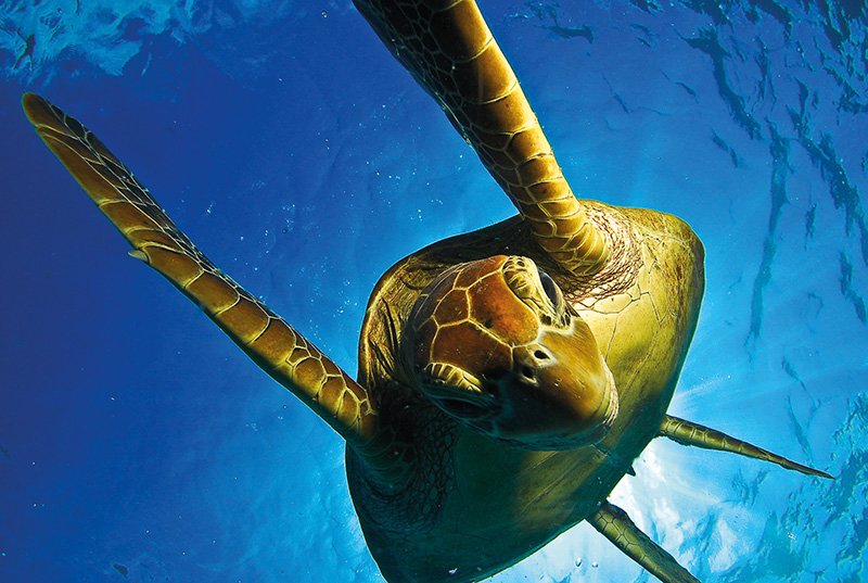 Green Turtle in the waters over the Great Barrier Reef