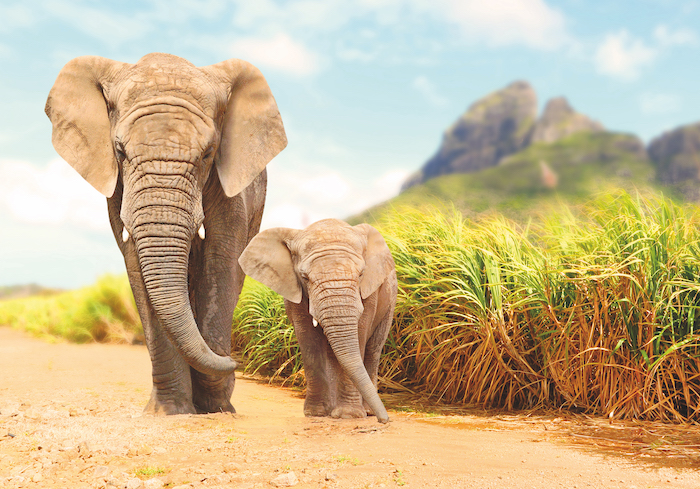 African Bush Elephants walking in Africa - savvy cruisers can see these as part of a cruise