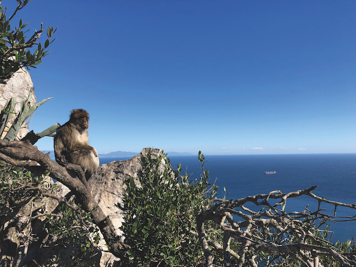 A Barbary macaque monkey perched on a rock in Gibraltar with sea beyond
