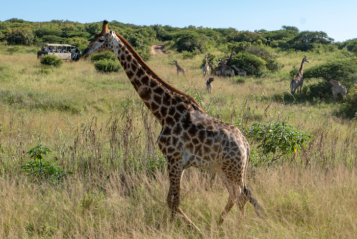 Viking-South-Africa-Cruise-giraffe