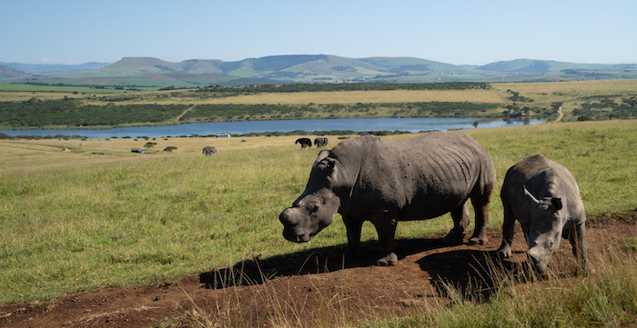 Viking-South-Africa-cruise-rhino