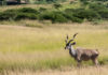 Viking-south-africa-cruise-deer