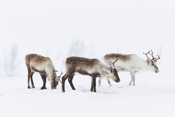reindeer visited on one of the best expedition cruises