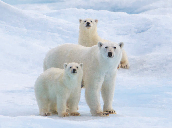 Polar Bears in Greeland best expedition cruises