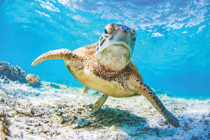 sea-turtle-in-Australia-can-be-seen-on-one-of-the-best-expedition-cruises