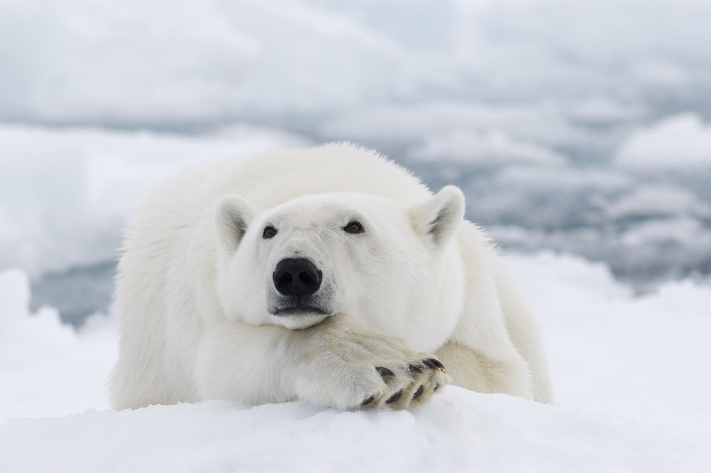 adventure-cruise-polar-bear