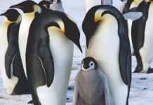Antarctica-Cruises-king-penguins
